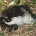 Thumbnail for Stop the Spray- Keeping Skunks at Bay